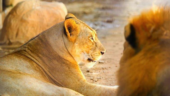 Geniale Idee schützt Löwen und Kühe